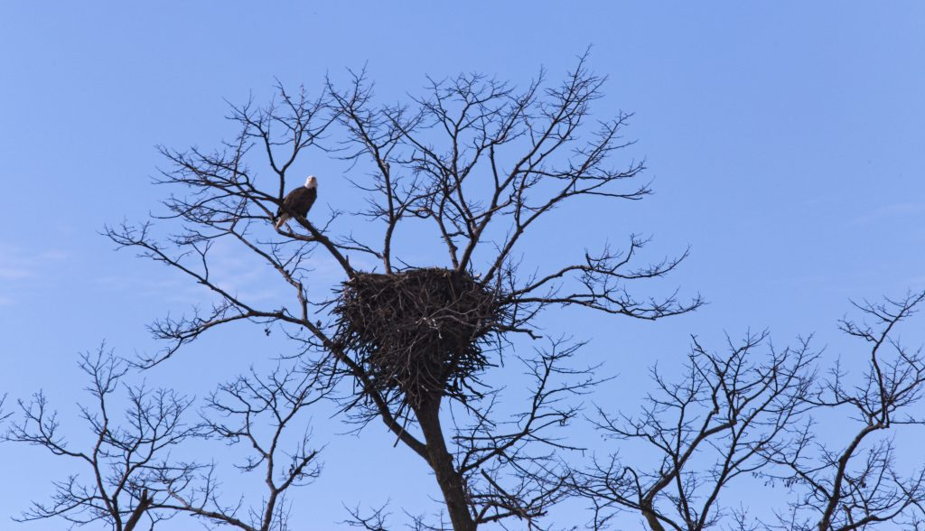 Bald Eagle Nesting - Wright County, Minnesota